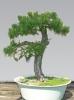 Erdei fenyő (pinus sylvestris)