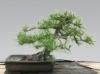 Fekete fenyő (pinus nigra) 0