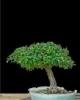 Galagonya cratageus 2