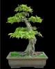 Lombos fák | Gyertyán (carpinus betalus ) 0_100