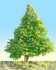 Gyertyán carpinus betulus 10