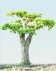 Kerti alakfák|Gyergyán (carpinus betulus)11_100
