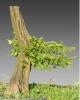 Gyertyán (carpinus betulus)12