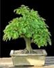 Gyertyán carpinus betulus 2