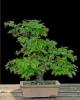 Gyertyán carpinus betulus3