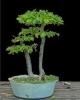 Gyertyán carpinus betulus 4