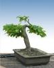 Gyertyán (carpinus betulus)6