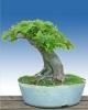 Gyertyán (carpinus betulus)7