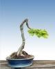 Gyertyán (carpinus betulus)8