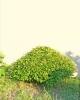 Gyertyán carpinus betulus 9
