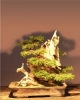 Kínai boróka (juniperus chinensis)0