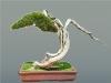 Kínai boróka (juniperus chinensis)10
