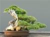 Kínai boróka (juniperus chinensis)11
