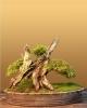 Kínai boróka (juniperus chinensis)1