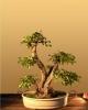 Kínai boróka (juniperus chinensis)3