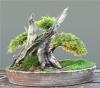 Kínai boróka (juniperus chinensis)6