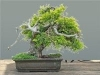 Kínai boróka (juniperus chinensis)7