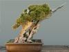 Kínai boróka (juniperus chinensis)8