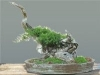Kínai boróka (juniperus chinensis)9
