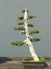 Közönséges boróka (juniperus communis)