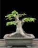 Gyertyán carpinus betulus 1